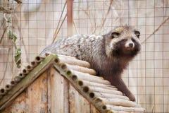 Guaxinim animal do mamífero Fotos de Stock Royalty Free