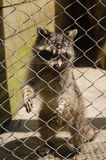 Guaxinim bonito no jardim zoológico imagens de stock