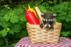 Guaxinim do bebê em uma cesta do piquenique Imagem de Stock