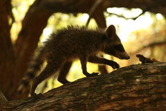 Guaxinim do bebê que anda na árvore Imagem de Stock Royalty Free