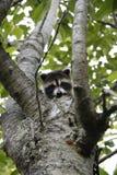 Guaxinim do bebê que esconde na árvore de cereja foto de stock