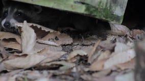 Guaxinim do bebê que esconde sob um log filme