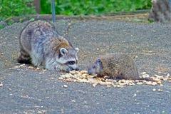 Guaxinim e Groundhog foto de stock