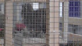 Guaxinim em uma gaiola - animais na gaiola video estoque