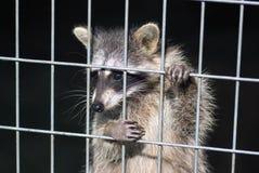 Guaxinim em uma gaiola Guaxinim no jardim zoológico Fotografia de Stock Royalty Free