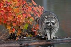 Guaxinim (lotor do Procyon) com Autumn Leaves imagens de stock