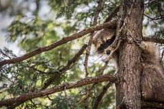 Guaxinim que esconde em uma árvore Fotografia de Stock Royalty Free