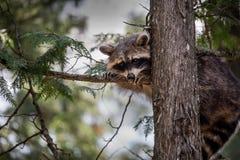 Guaxinim que esconde em uma árvore Foto de Stock
