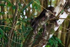 Guaxinim que pendura para fora em uma árvore foto de stock