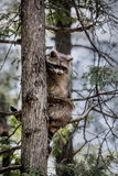 Guaxinim que senta-se em uma árvore Fotos de Stock Royalty Free