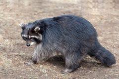 Guaxinim selvagem adulto que corre na terra na natureza fotografia de stock