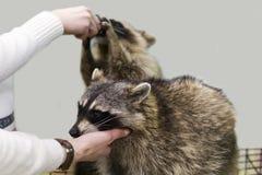 Guaxinins no jardim zoológico, alimentação da mão Imagens de Stock Royalty Free