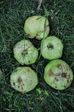 Guayaba roja aislada en hierba verde fotos de archivo