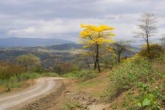 Guayacanes blom i Ecuador Royaltyfria Bilder