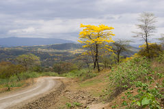 Guayacanes Bloom in Ecuador. LAPOTILLO LOJA ECUADOR ,Feb 02, 2013. Guayacanes (lignum vitae) bloming near Lapotillo Ecuador Feb 02 2013. These trees only bloom 5 royalty free stock images