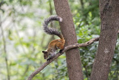 Guayaquil Squirrel Royalty Free Stock Images