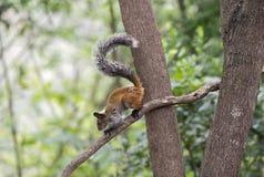 Guayaquil wiewiórka Obrazy Royalty Free