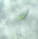 Guban-Fischspezies Cheilinus-undulatus, das auf das Unterseitenne schwimmt Stockfoto