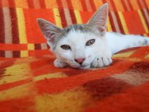 Gud mrning. Cute lazy kitty lining on plaid background Royalty Free Stock Photography