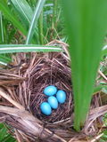 Gud pic. Blue eggs natural Royalty Free Stock Images