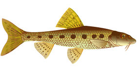 Gudgeon Stock Photography