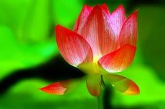 gudomlig lotusblomma Arkivfoton