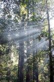 Gudstrålar i redwoodträdträd royaltyfria foton