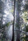 Gudstrålar i redwoodträdträd royaltyfri fotografi