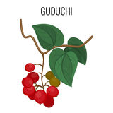 Guduchi branch with red berries and leaves isolated on white background. Royalty Free Stock Image