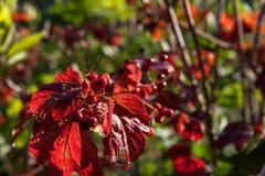 guelder玫瑰或荚莲属的植物opulus灌木的明亮的红色莓果 免版税图库摄影