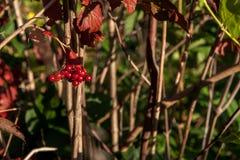 guelder玫瑰或荚莲属的植物opulus灌木的明亮的红色莓果 库存图片