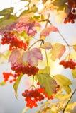 guelder玫瑰色雪球结构树 库存图片