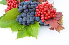 Guelder玫瑰莓果用在白色背景的葡萄 免版税库存图片