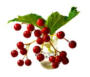 Guelder玫瑰(荚莲属的植物opulus)莓果 免版税库存图片