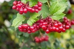 guelder红色成熟莓果在绿色leaf_中上升了 免版税库存照片