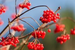 Guelder-ροδαλό κόκκινο οπωρωφόρο δέντρο μούρων κλάδων arrowwood Στοκ εικόνα με δικαίωμα ελεύθερης χρήσης