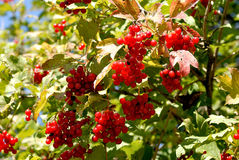 Guelder Royalty Free Stock Photos