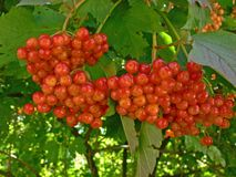 Guelder berries. Herbs,homeopathy and alternative medicine: guelder berries Stock Photography