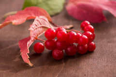 Guelder berries Royalty Free Stock Photo