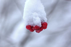 Guelder berries. Snow. Royalty Free Stock Images