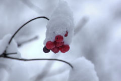 Guelder berries. Snow. Royalty Free Stock Image