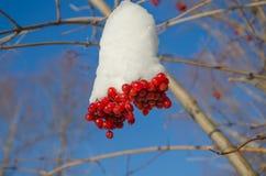 Guelder-ros bär i vintern Arkivfoton