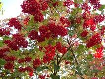 Guelder-rosa Imagem de Stock Royalty Free