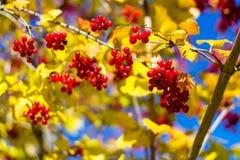 Guelder-rosa en otoño Fotos de archivo libres de regalías