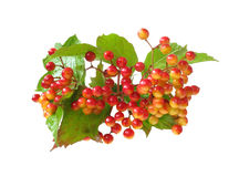 Guelder-rose Royalty Free Stock Images