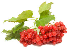 Guelder-rose Royalty Free Stock Photos