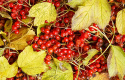 Guelder-rose Royalty Free Stock Image