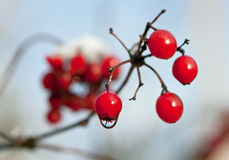 Guelder-rose Stock Photo