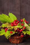 Guelder rose Royalty Free Stock Image
