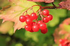 Guelder-rose Photo stock